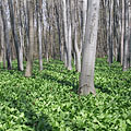 Green leaves of a ramson or bear's garlic (Allium ursinum) in the woods - Bakony Mountains, Maďarsko
