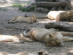 A whole Asian, Persian or Indian lion (Panthera leo persica) family is lounging under the shady trees - Budapešť, Maďarsko
