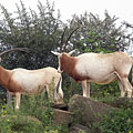 Scimitar oryx or scimitar-horned oryx (Oryx dammah), and also known as the Sahara oryx, large brown antelopes and close to extinction - Amsterdam, Olanda