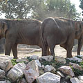 Asiatic elephants (Elephas maximus) - Budapest, Hungría