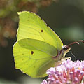 Common brimstone (Gonepteryx rhamni), a pale green or sulphur yellow colored butterfly - Mogyoród, Hungría
