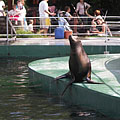 California sea lion (Zalophus californianus), or sometimes misspelled as Californian sealion, an eared seal, living in western North America - Budapest, Ungheria