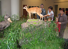 Stuffed and mounted animals: a shoe-billed stork and a dik-dik antelope - Budapest, Hongrie