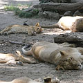 A whole Asian, Persian or Indian lion (Panthera leo persica) family is lounging under the shady trees - Budapest, Hongrie