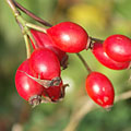 Ripe rose hips - Mogyoród, Węgry