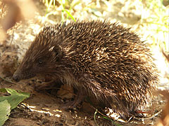 European hedgehog or Common hedgehog (Erinaceus europaeus) - Mogyoród, Унгария