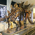 Skeleton of a Stegosaurus, the well-known herbivorous (plant-eating) dinosaur from the Jurassic Age - Amsterdam, Niederlande