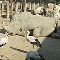 White storks (Ciconia ciconia) and a square-lipped rhino (Ceratotherium simum) in the Savanna area - Budapest, Ungarn