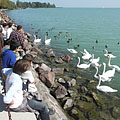 The swans are always popular (students looking at the lake and the birds) - Balatonfüred, Ungari