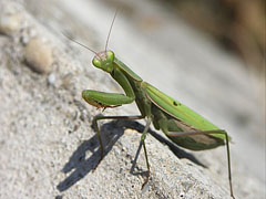 European mantis or Praying mantis (Mantis religiosa) - Mogyoród, Ungern