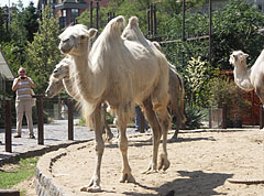 Bactrian camel (Camelus bactrianus, formerly Camelus ferus) - بودابست, هنغاريا