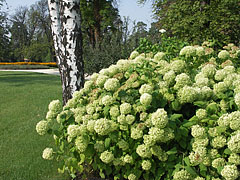 Hortensia (Hydrangea) flowers in the palace garden - Gödöllő, هنغاريا