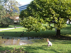 Ducks bathe in a puddle in the park - Balatonfüred, Hungary