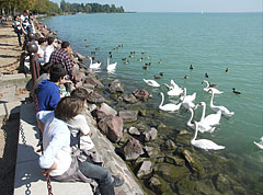 The swans are always popular (students looking at the lake and the birds) - Balatonfüred, Hungary