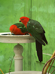 Australian king parrot (Alisterus scapularis), two male specimens - Budapest, Hungary