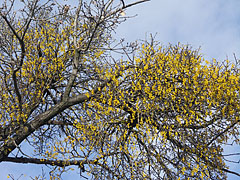 Yellow mistletoes on a tree - Budapest, Hungary