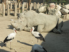 White storks (Ciconia ciconia) and a square-lipped rhino (Ceratotherium simum) in the Savanna area - Budapest, Hungary