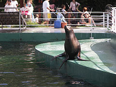 California sea lion (Zalophus californianus), or sometimes misspelled as Californian sealion, an eared seal, living in western North America - Budapest, Hungary