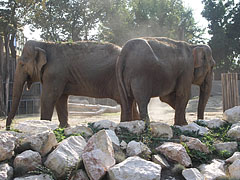 Asiatic elephants (Elephas maximus) - Budapest, Hungary