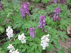 Bulbous corydalis or fumewort (Corydalis cava) mauve-purple and white colored spurred flowers - Eplény, Hungary