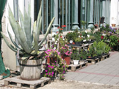 Plants for sale in front of the Palm House - Gödöllő, Hungary
