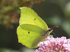 Common brimstone (Gonepteryx rhamni), a pale green or sulphur yellow colored butterfly - Mogyoród, Hungary