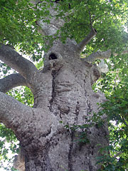 More than 400 years old giant sycamore (or plane) trees - Trsteno, Croatia